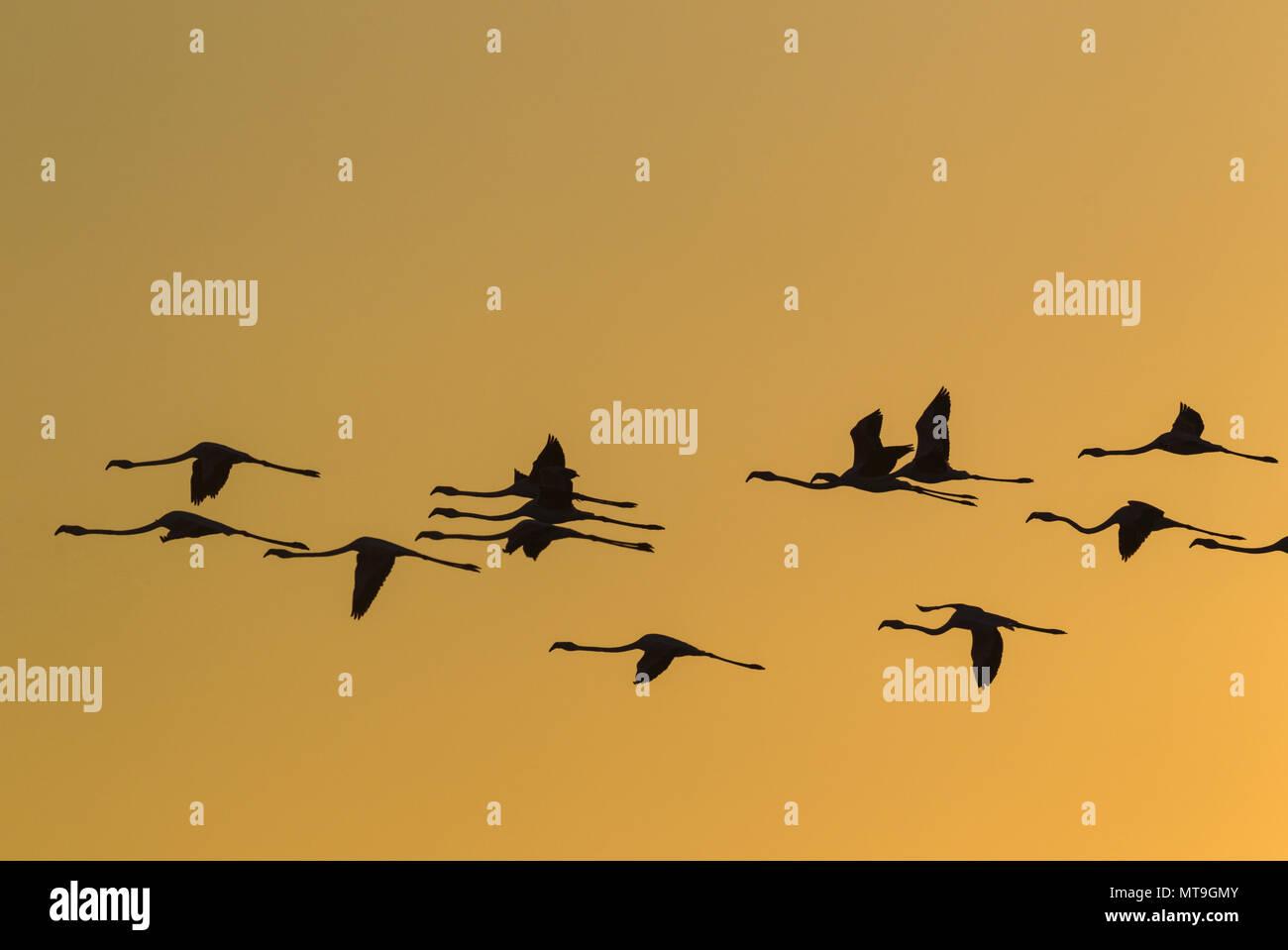Fenicottero maggiore (Phoenicopterus roseus). Volare al tramonto presso la Laguna de Fuente de Piedra vicino alla città di Antequera. Questo è il più grande lago naturale in Andalusia e in Europa è solo la navigazione terreno fertile per questa specie. Provincia di Malaga, Andalusia, Spagna. Foto Stock