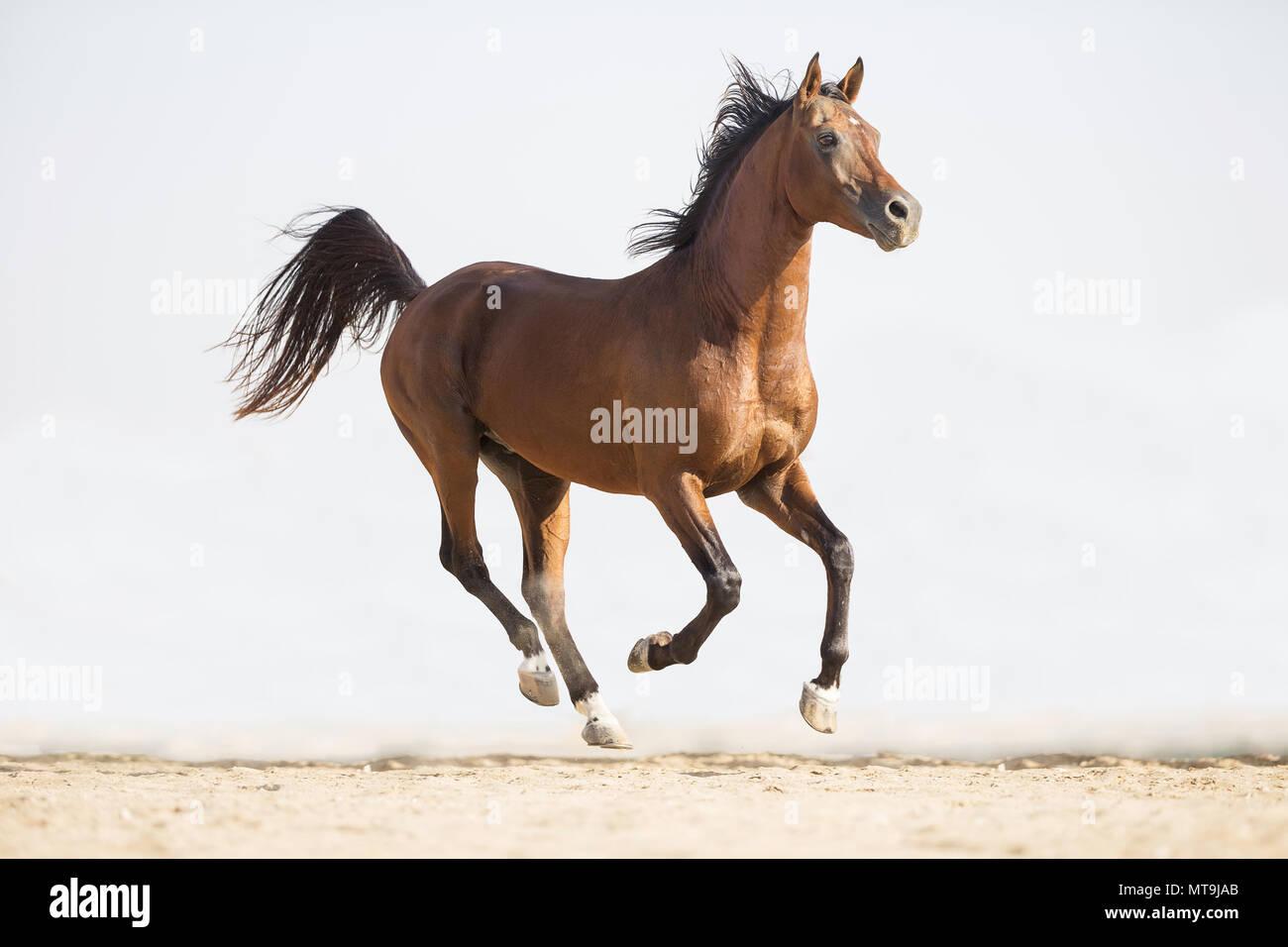 Arabian Horse. Bay stallone al galoppo nel deserto. Abu Dhabi Immagini Stock