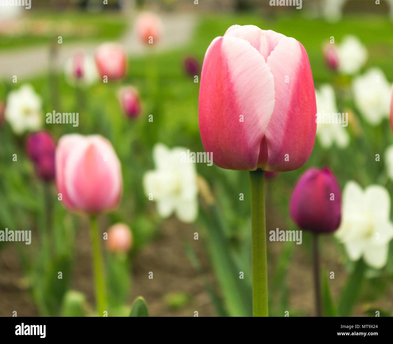 Una Rosa E Bianco Tulip A Fuoco Contro Uno Sfondo Sfocato Di Viola E