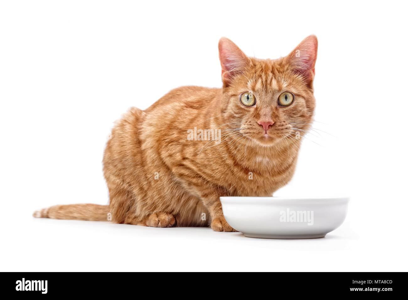 Lo zenzero cat seduti intorno a una ciotola di cibo e guardando la telecamera - isolato su bianco. Immagini Stock