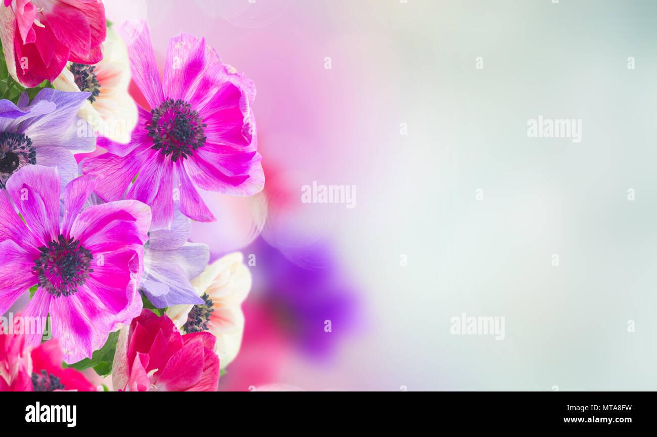 Anemone Freschi Fiori Su Sfondo Blu Banner Foto Immagine Stock