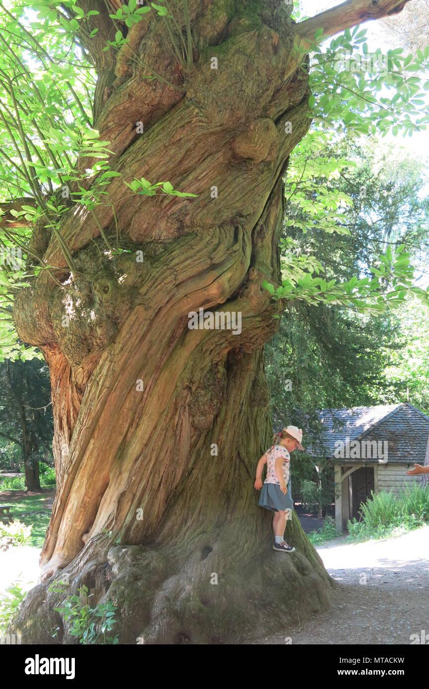 Una bambina arrampica su ritorto il tronco di un albero gigantesco nei giardini a Ightham Mote vicino a Sevenoaks, Kent Immagini Stock