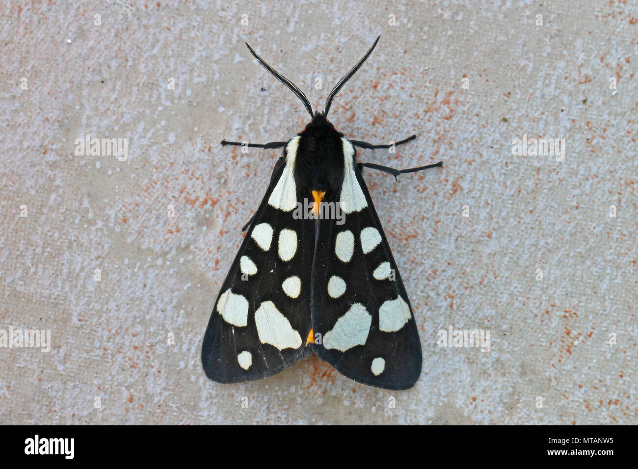 Crema spot tiger moth close up nome latino arctia villica su una