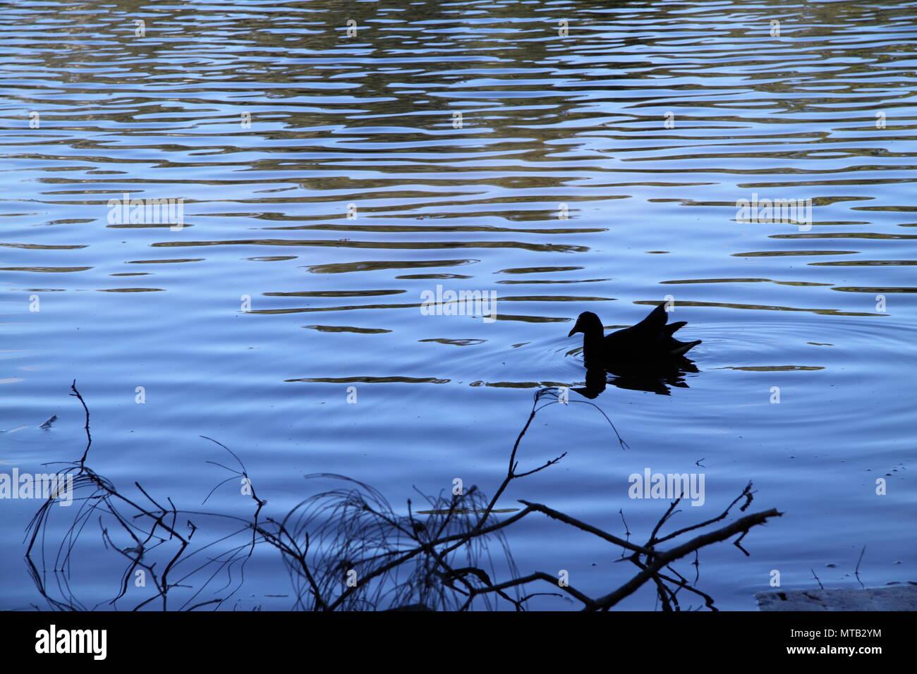 Dusky (Moorhen Gallinula Tenebrosa) Nuoto su Currumbin Creek Immagini Stock