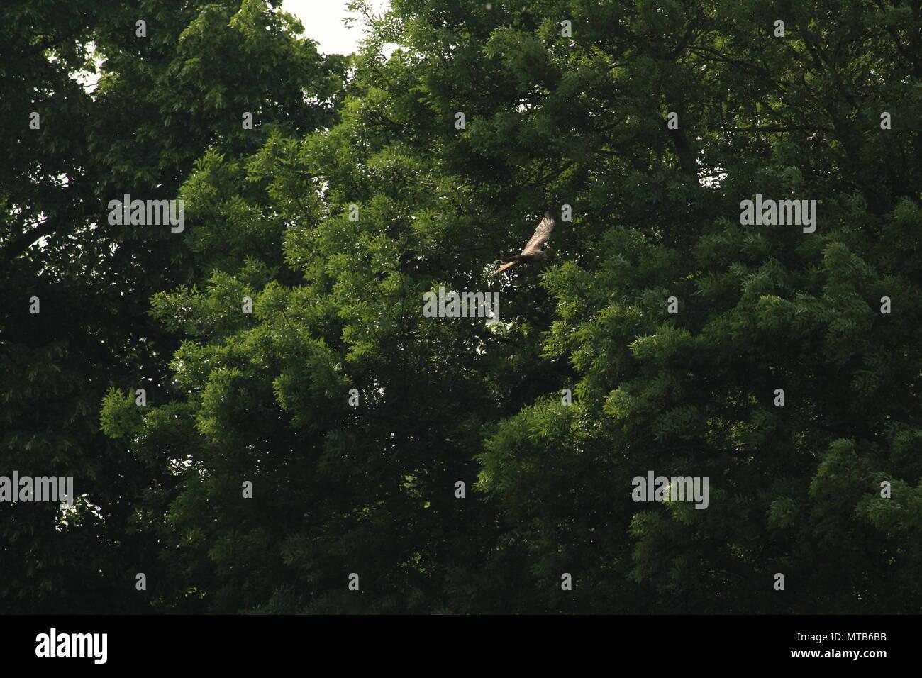 Un singolo aquilone rosso, Milvus milvus vola al di sopra di un campo con alberi in background. Spazio per la copia. Foto Stock