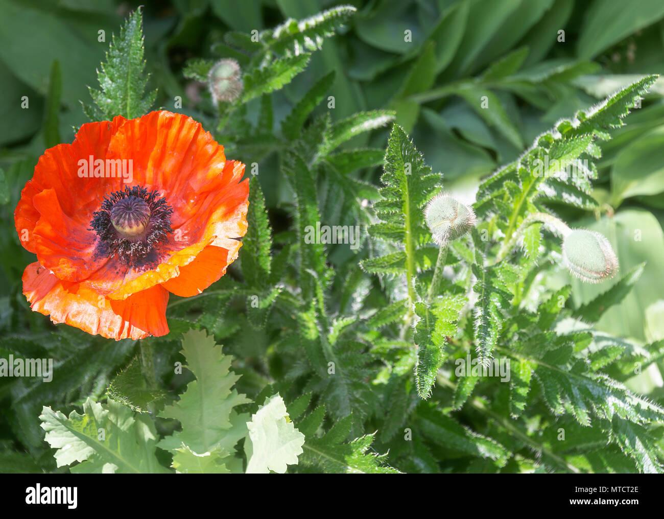 Un bel rosso papavero cartaceo Allegro viva in un letto di fiori in un giardino in Alsager Cheshire England Regno Unito Regno Unito Immagini Stock