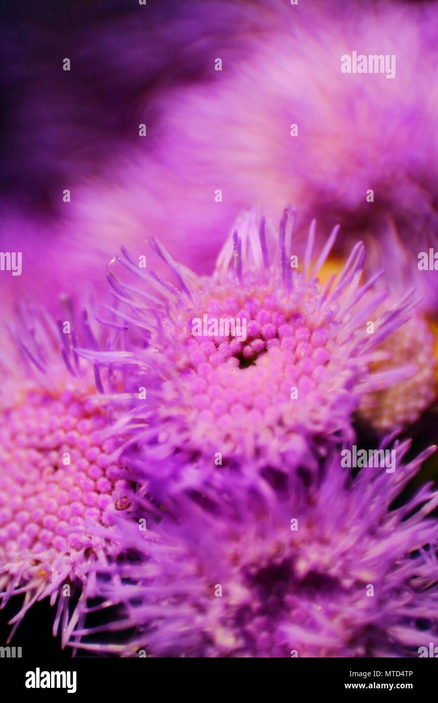 Soft immagine macro di poco purple aster fiori. Messa a fuoco selezionata. Microcosmo floreale. La piccola profondità di campo. Immagini Stock
