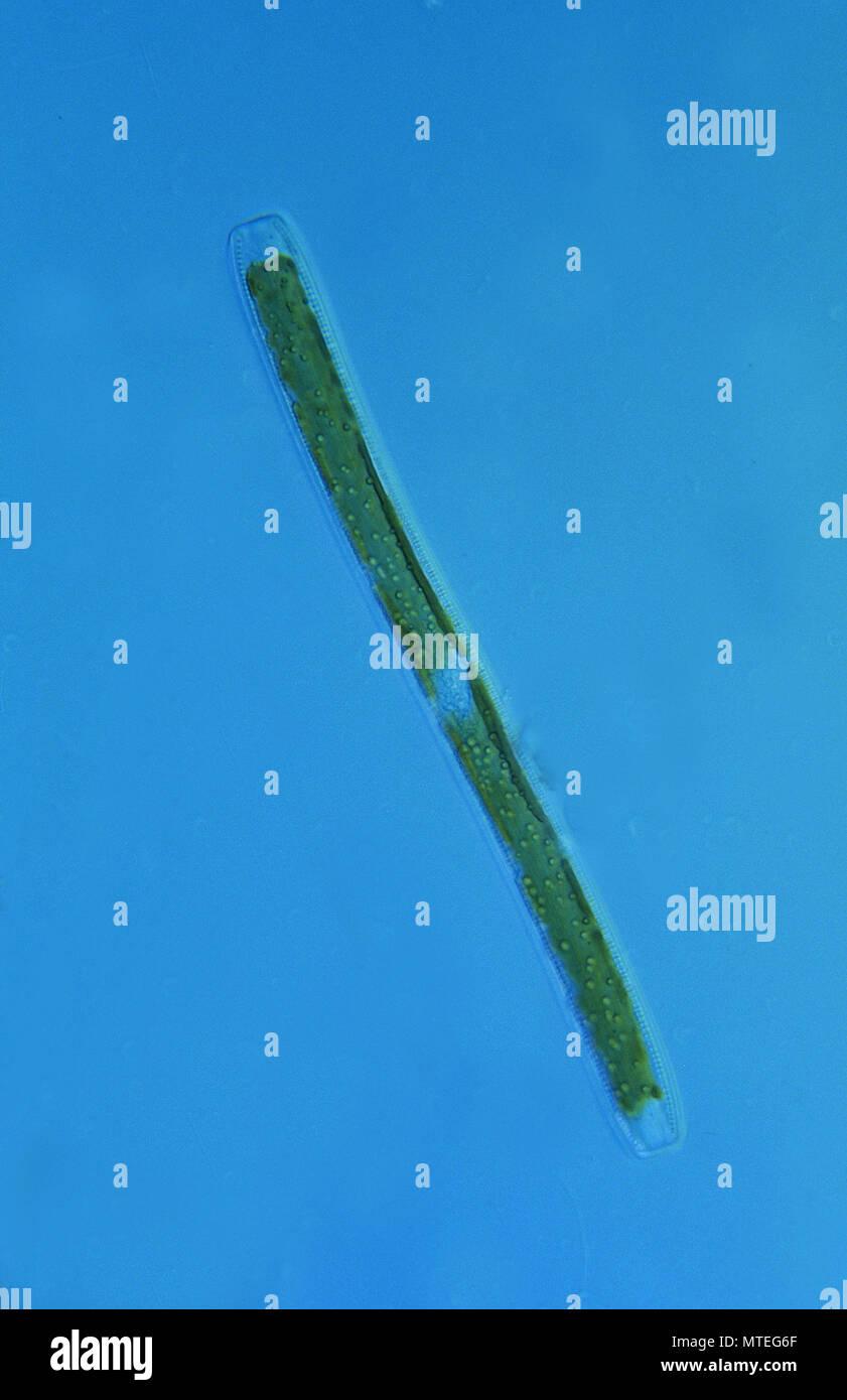 Nitzscjoa.Diatomea.Seawed.alghe.di microscopia ottica Immagini Stock