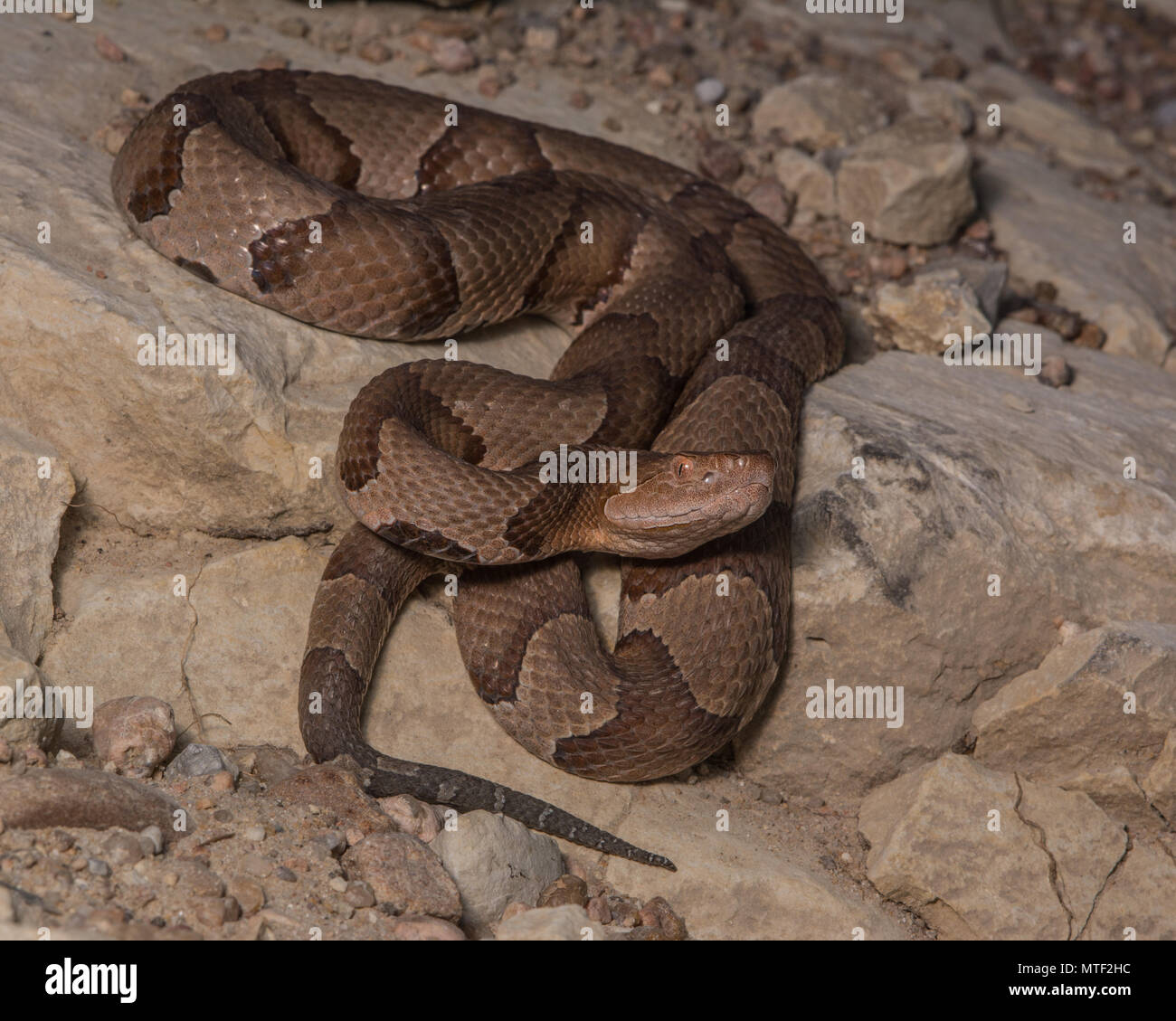 Copperhead settentrionale (Agkistrodon contortrix) da Gage County, Nebraska, Stati Uniti d'America. Immagini Stock