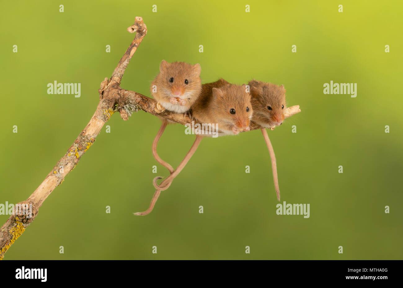 Trio di curare topi raccolto seduto su un ramo Immagini Stock