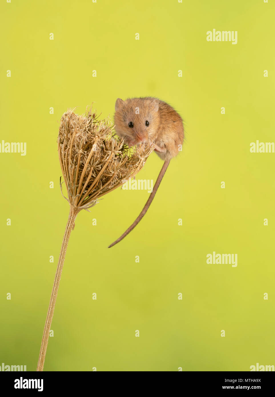 Harvest mouse di arrampicata in un set di studio fino Immagini Stock