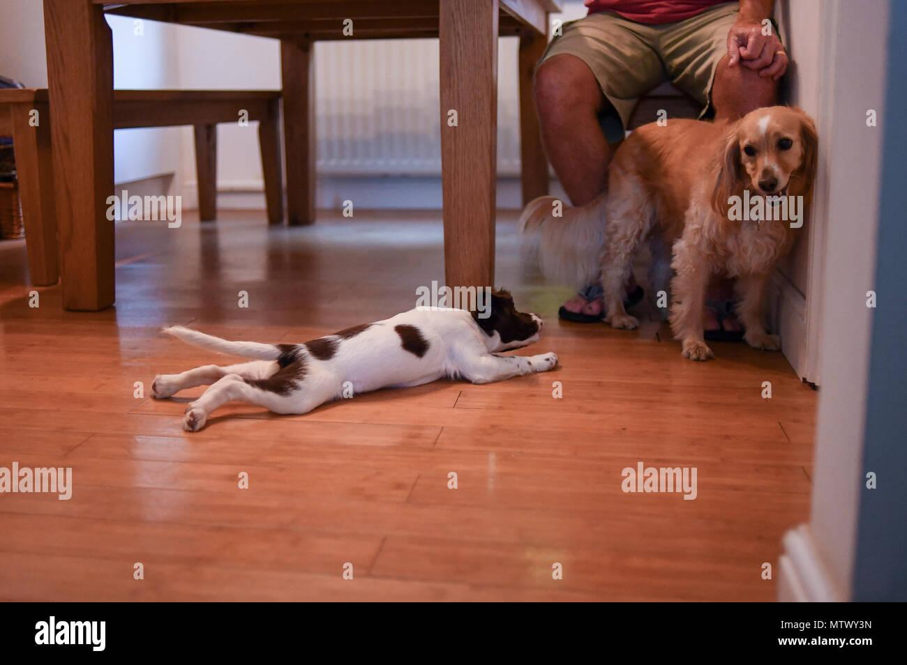 Una settimana 10 old English Springer spaniel cucciolo socialises con un cane adulto che è esitante con la riunione. Immagini Stock