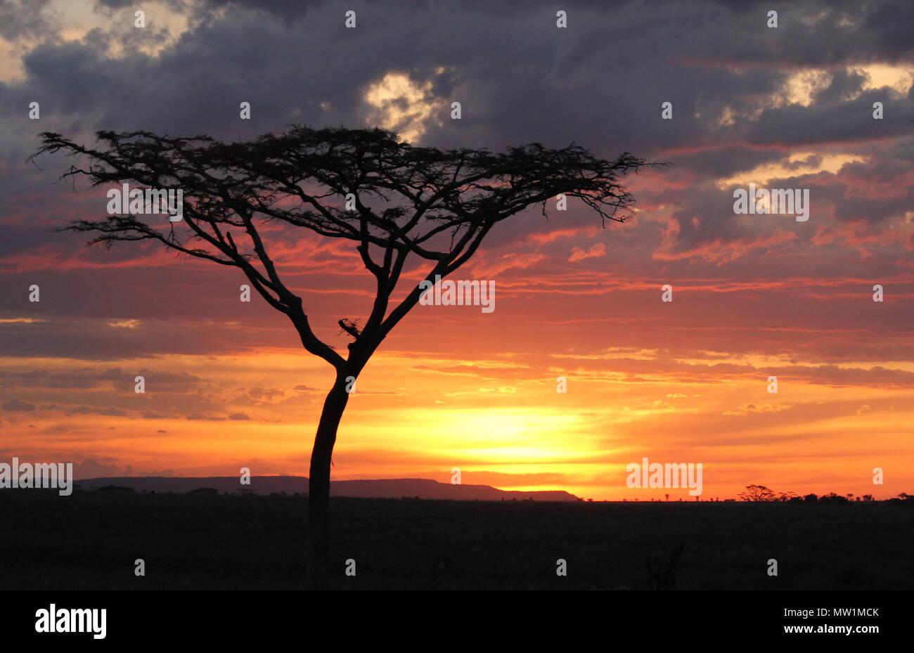 Le ombre degli alberi nella parte anteriore del tramonto sulla savana africana Immagini Stock