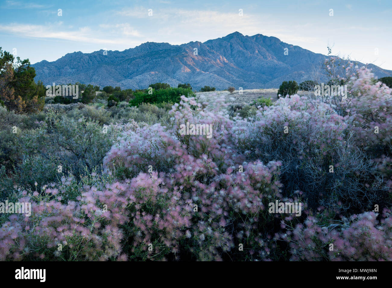 Pennacchio di Apache, (Fallugia paradoxa), Sierra ladrones, Socorro co.,Nuovo Messico, Stati Uniti d'America. Foto Stock