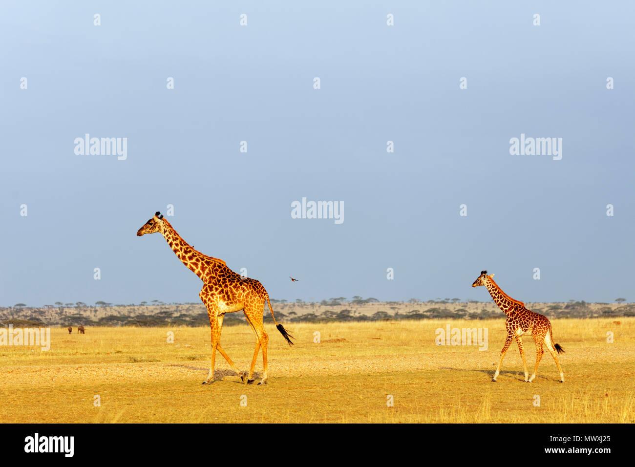 Giraffe (Giraffa camelopardalis), il Parco Nazionale del Serengeti, Sito Patrimonio Mondiale dell'UNESCO, Tanzania, Africa orientale, Africa Immagini Stock