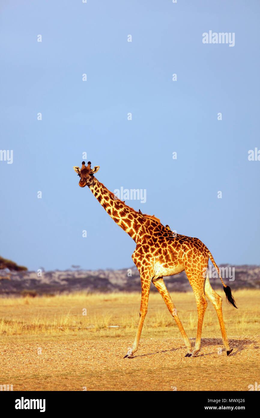 Giraffe (Giraffa camelopardalis), il Parco Nazionale del Serengeti, Sito Patrimonio Mondiale dell'UNESCO, Tanzania, Africa orientale, Africa Foto Stock