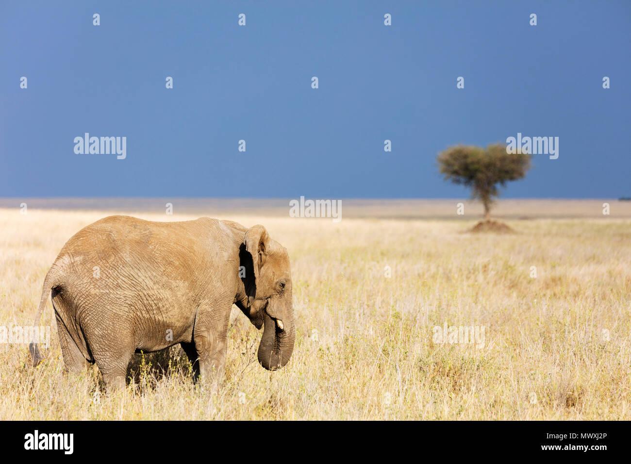 Elefante africano (Loxodonta africana), il Parco Nazionale del Serengeti, Sito Patrimonio Mondiale dell'UNESCO, Tanzania, Africa orientale, Africa Immagini Stock