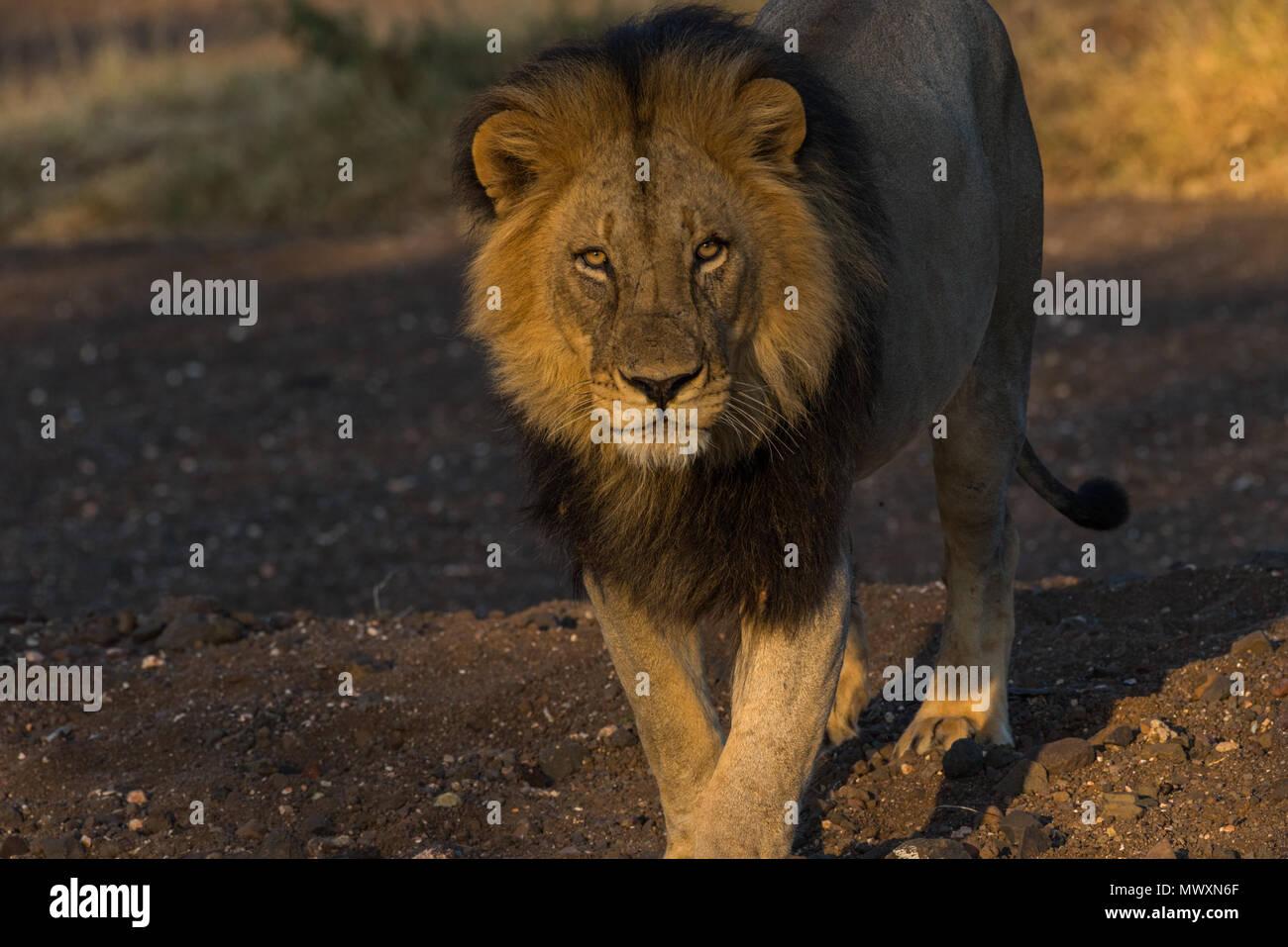 Maschio nero Maned Leone africano a Riserva di Mashatu Botswana Immagini Stock