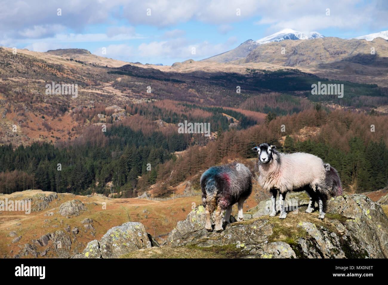 Herdwick pecora su affioramenti vicino a Seathwaite Tarn, Lake District, Inghilterra Immagini Stock