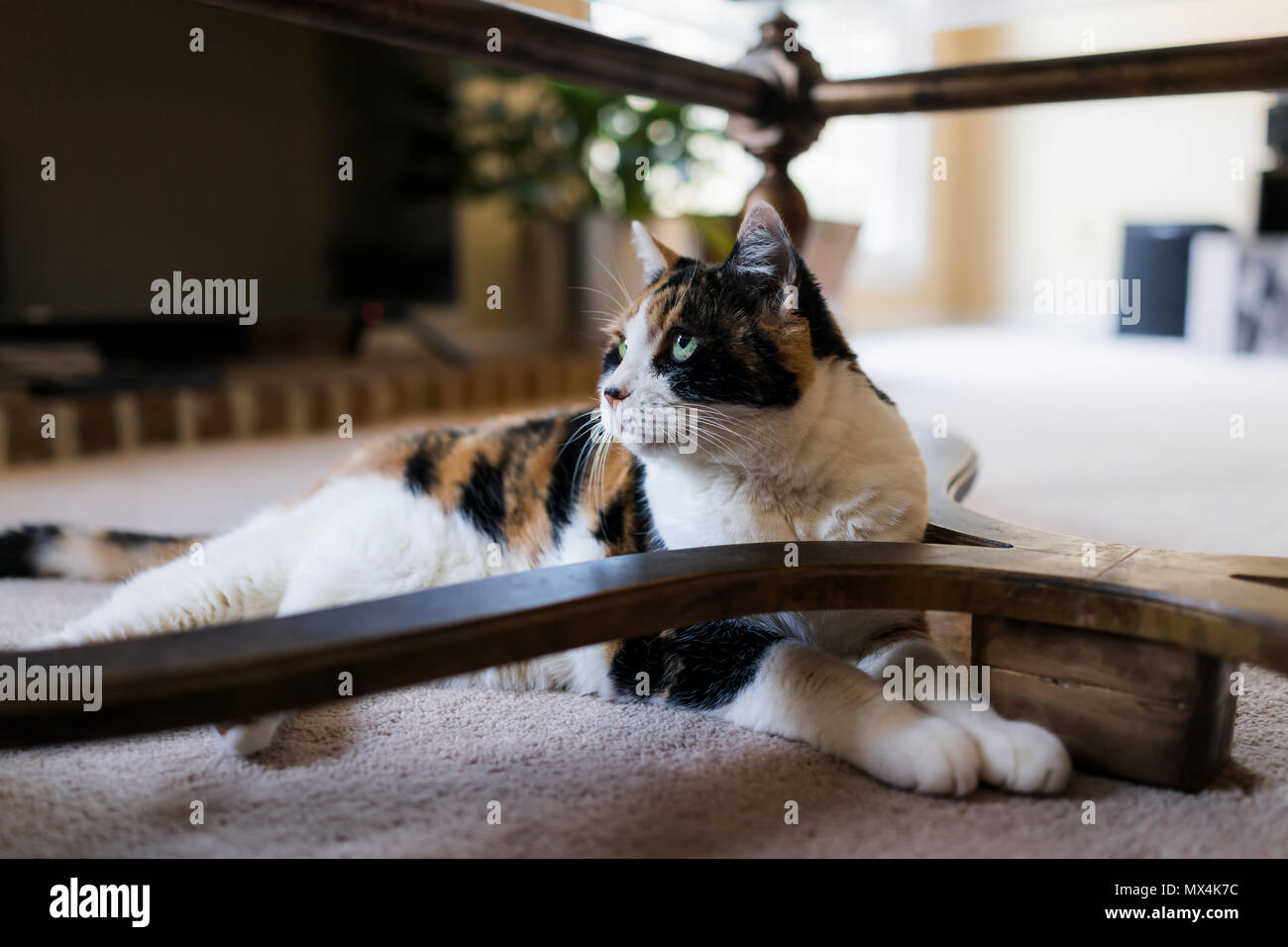 Gatto Sotto Il Tavolo Immagini E Fotos Stock Alamy