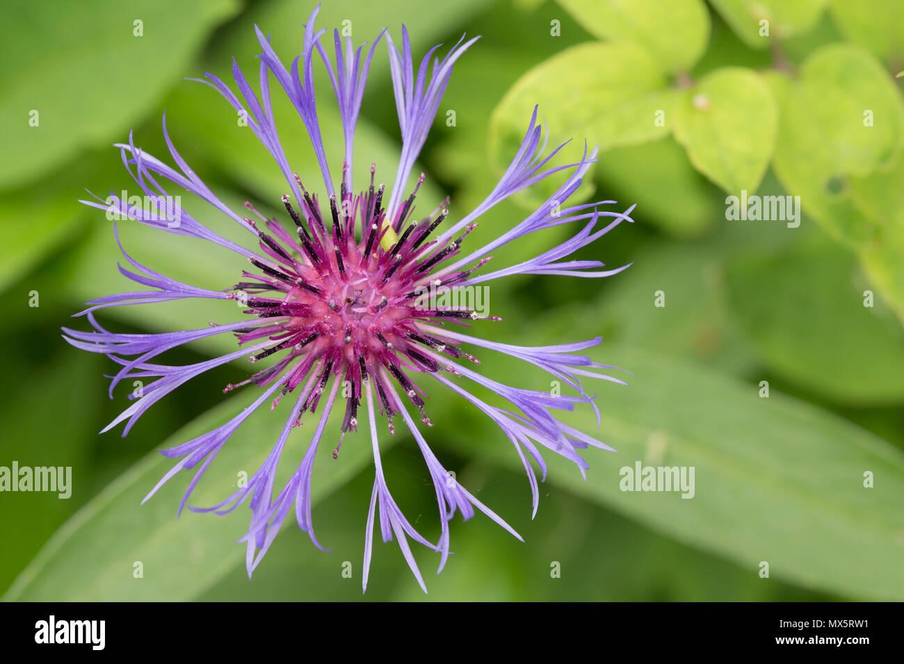 Un singolo centaurea, noto anche come un corso di laurea del pulsante venite in centinaia di specie. Immagini Stock