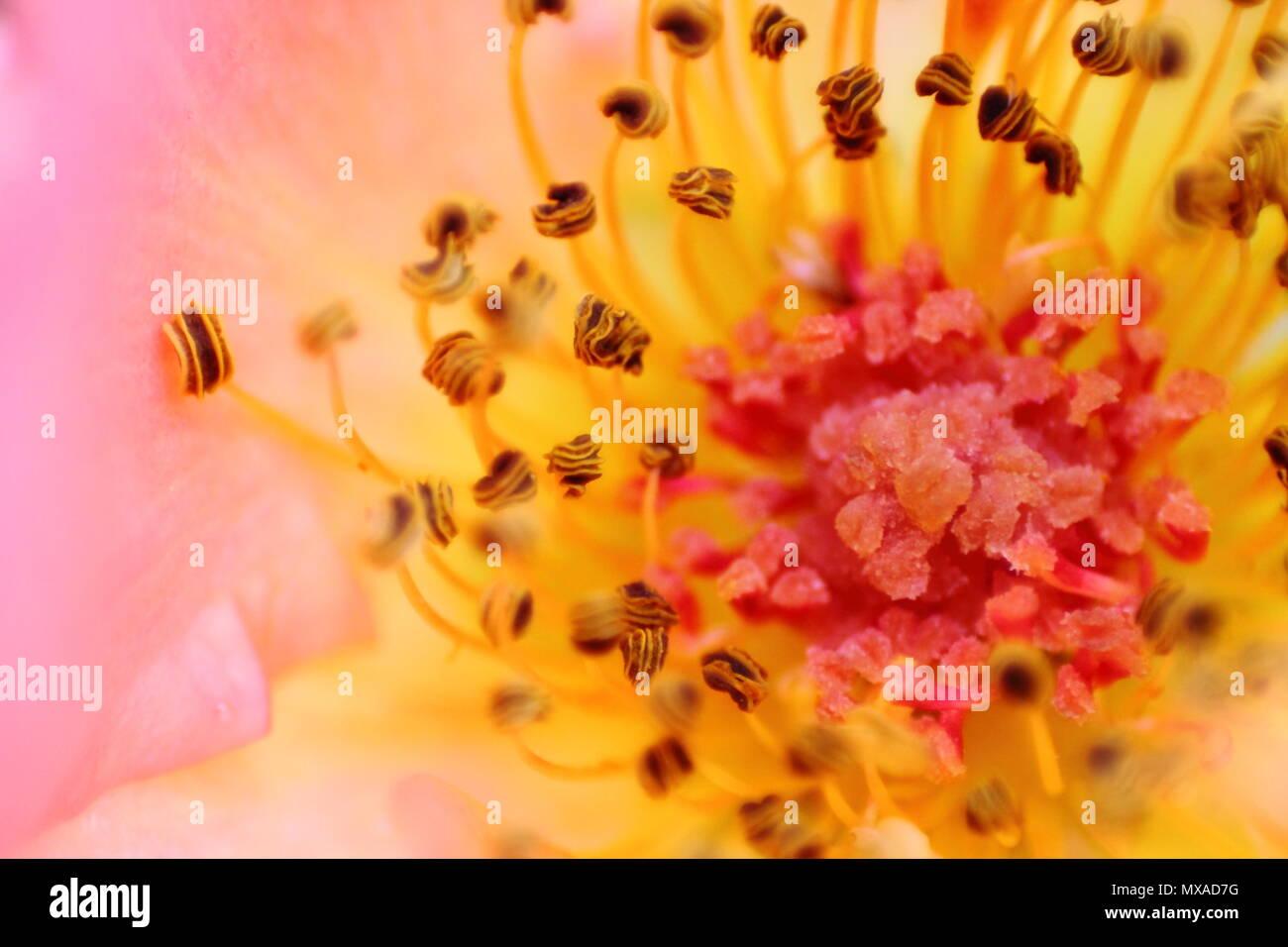 Macro di soft focalizzata rose strutture riproduttive. Microcosmo floreale con il polline. Messa a fuoco selezionata. Immagini Stock