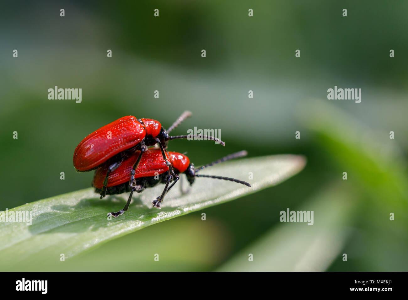 Libera le relazioni in insetti. Coleotteri in una passeggiata Immagini Stock