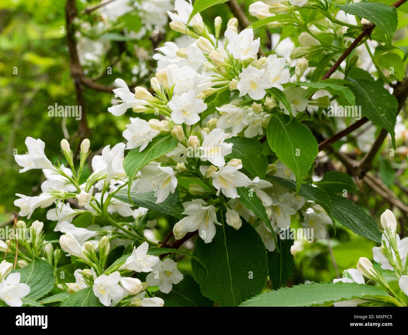 Arbusto Fiori Bianchi.Fiori Bianchi Di Hardy Inizio Estate Giardino Fiorito Arbusto