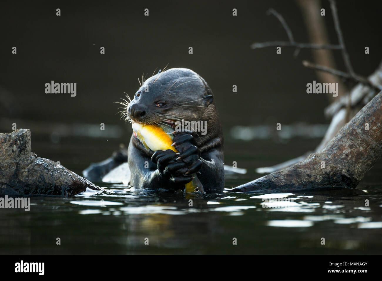 Una lontra gigante (Pteronura brasiliensis) mangiando un luccio-cichlid pesce Immagini Stock