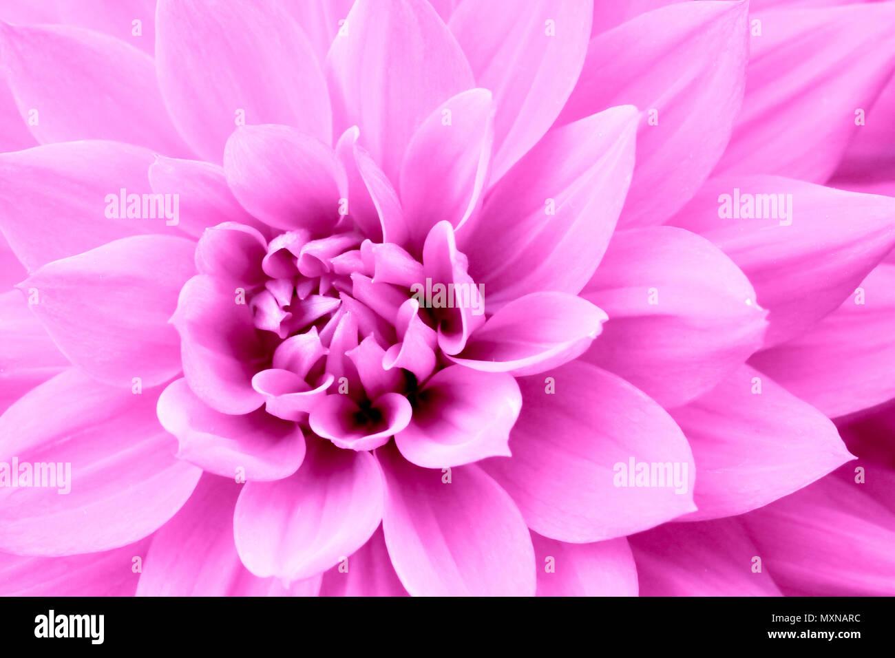 Rosa viola fiore dahlia foto macro immagine a colori - Immagine di lucertola a colori ...