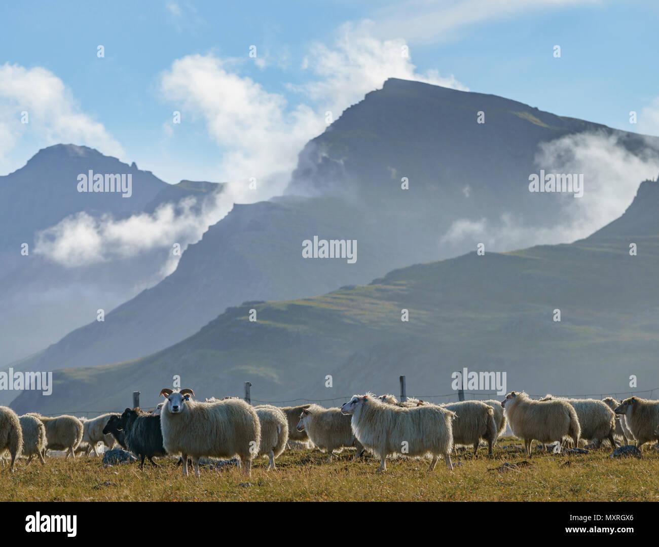 Free Range pecore al pascolo su erbe e spezie, Islanda Immagini Stock