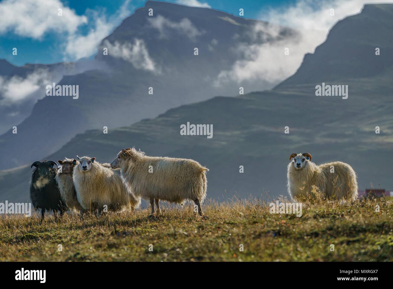 Free Range pecore al pascolo su erbe e spezie, Islanda Orientale Immagini Stock