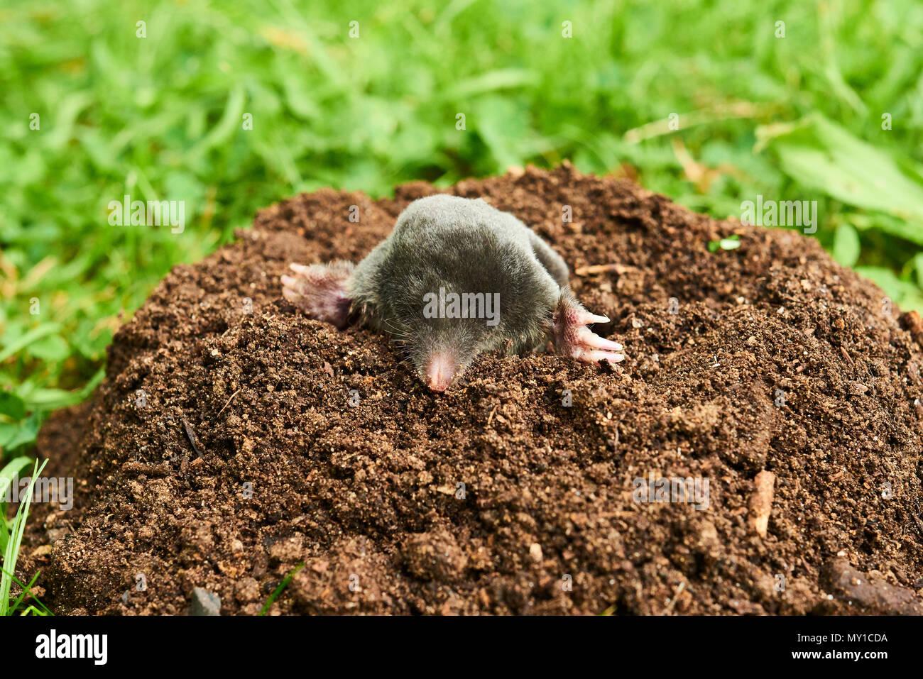 Close up di mole in giardino talpa europaea strisciando fuori