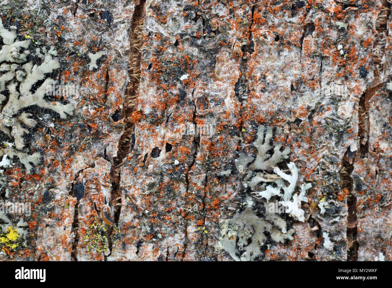 Il microcosmo e flora sulla superficie della corteccia del vecchio albero della mela. Licheni, muschi e altre sostanze organiche. Studio di ripresa macro Immagini Stock