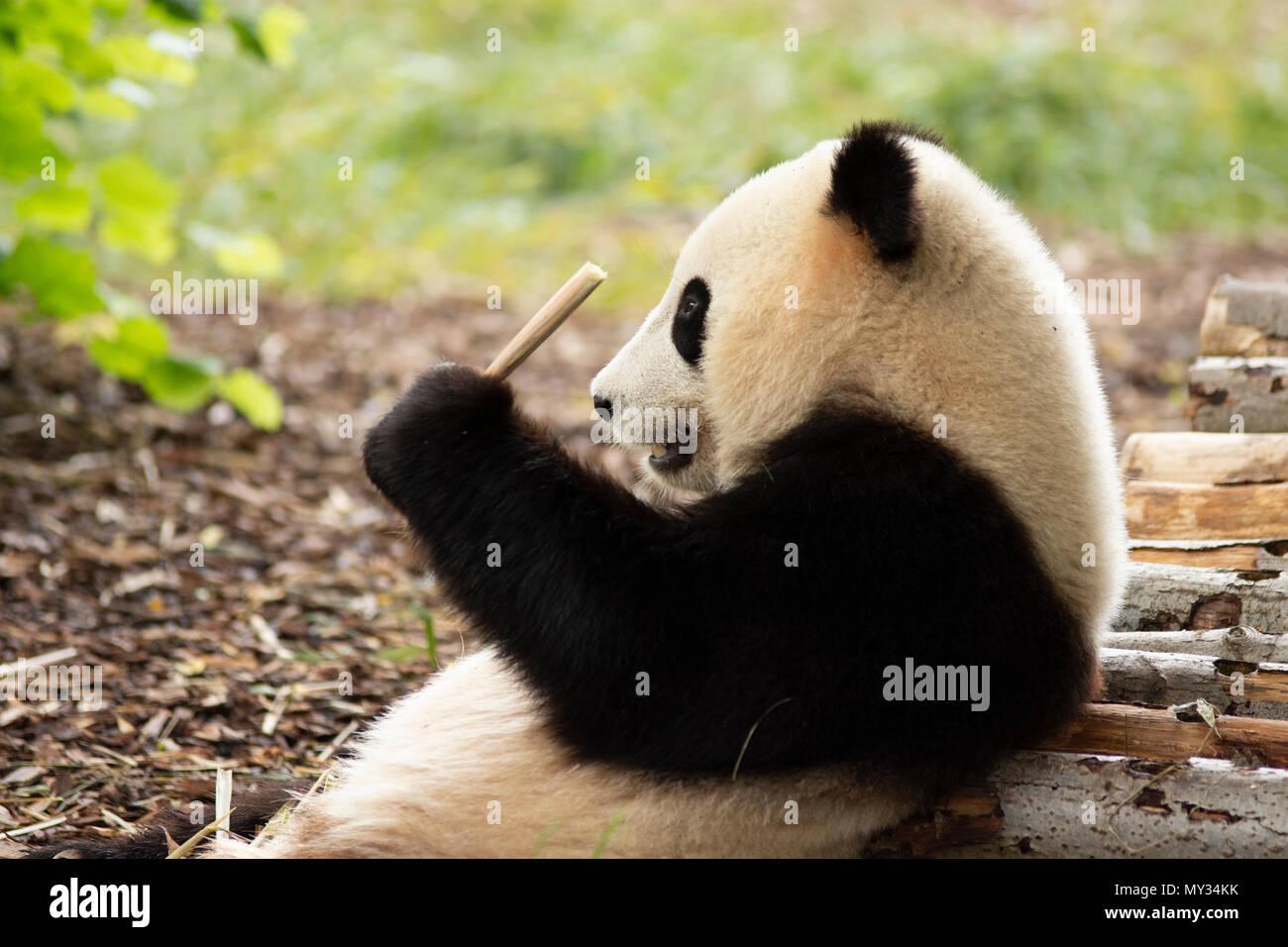 Orso panda in Pairi Daiza zoo,Belgio Foto Stock