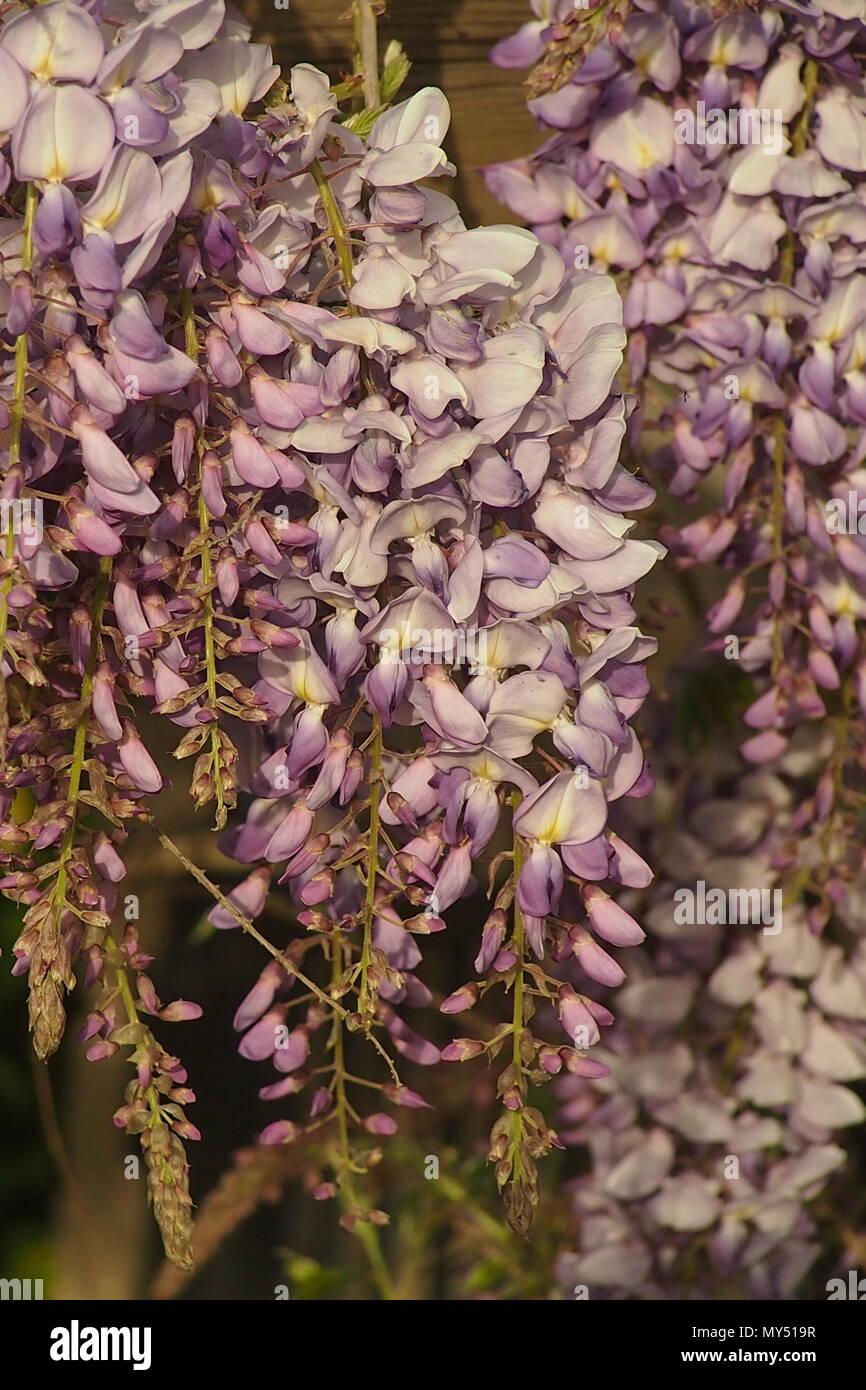 Delicato Colore Viola Pallido close up viola pallido fiori di glicine in bright aprile