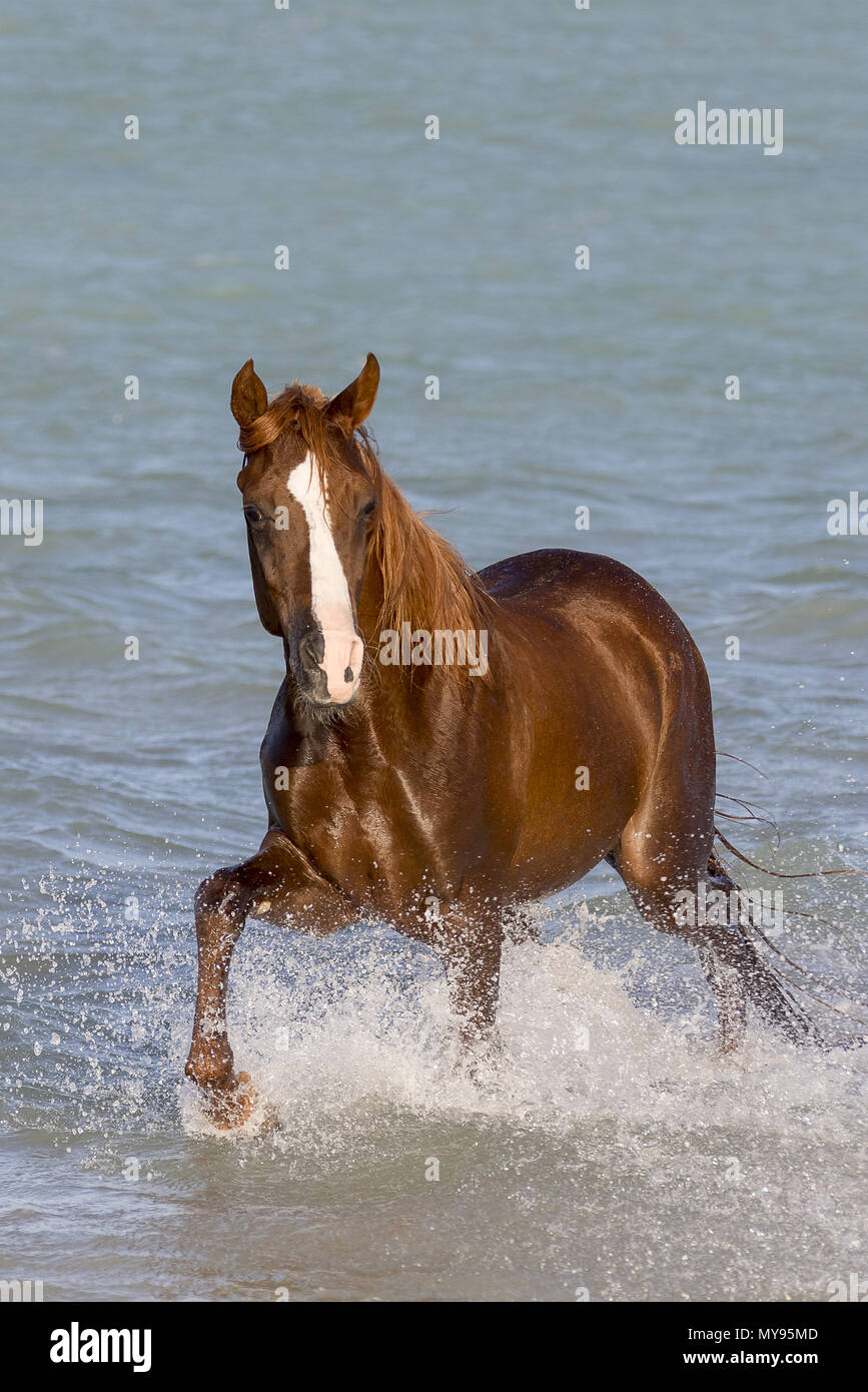 Arabian Horse. Chestnut stallone passeggiate in mare. Egitto Immagini Stock