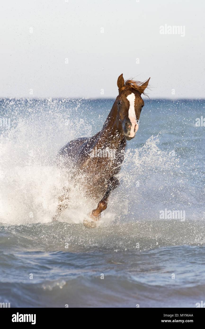 Arabian Horse. Stallone di castagne al galoppo in mare. Egitto Immagini Stock