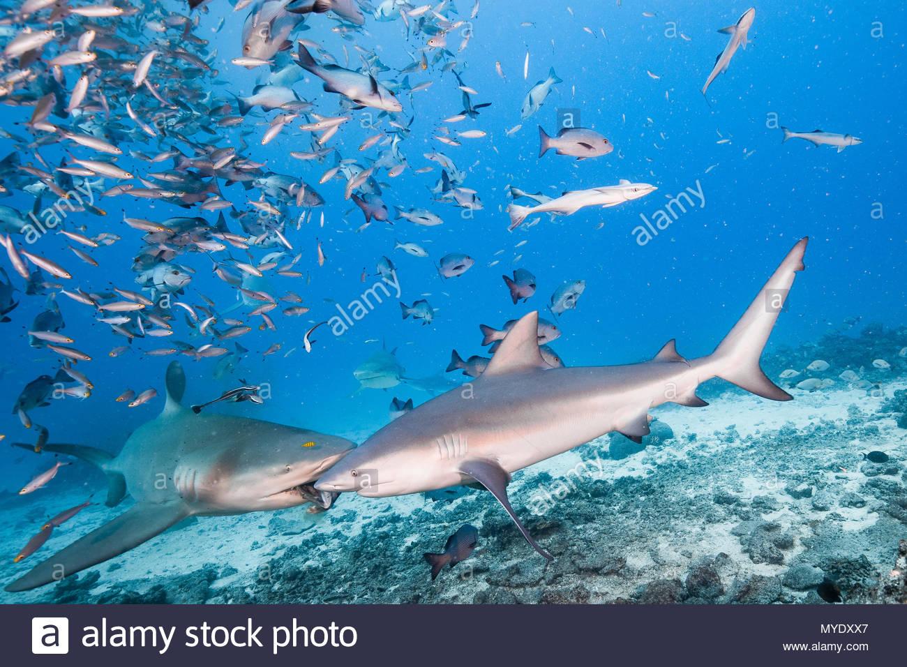 Due gli squali toro competere su un pezzo di esca. Immagini Stock