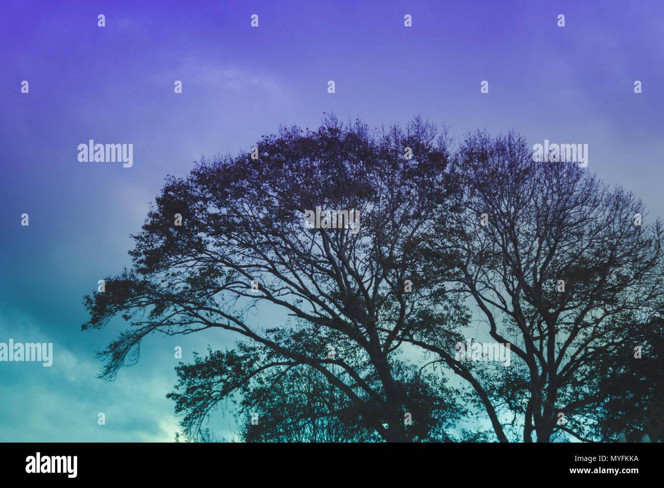 Immagine di panorama di un albero stagliano contro un viola e cielo turchese al crepuscolo. Immagini Stock