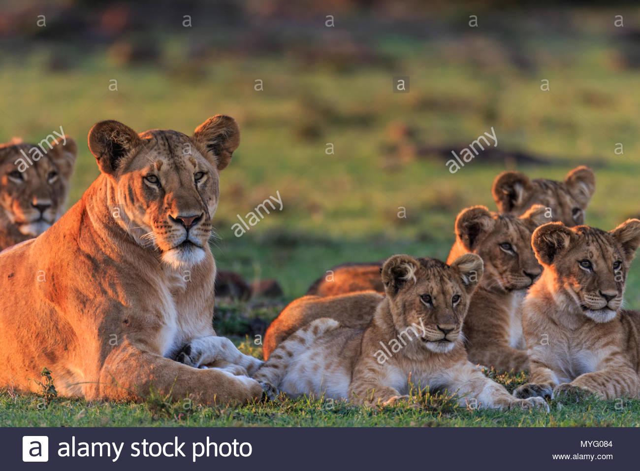 Una femmina di Lion e i suoi cuccioli riposo al tramonto. Immagini Stock