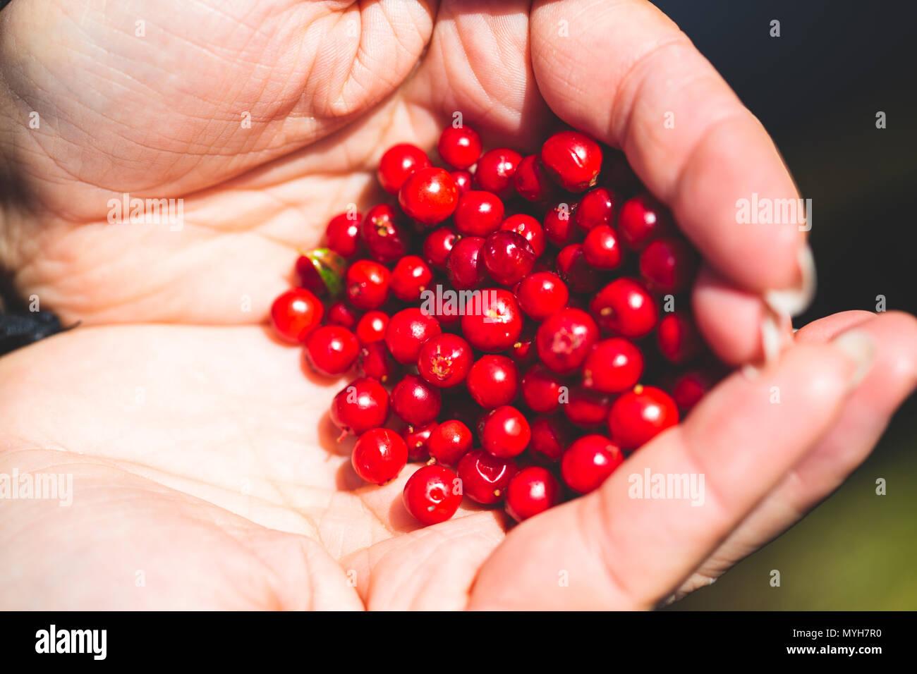 Mature lingonberry gustosi nel palmo di una donna. Raccogliere i frutti di bosco in montagna, viaggi. Immagini Stock