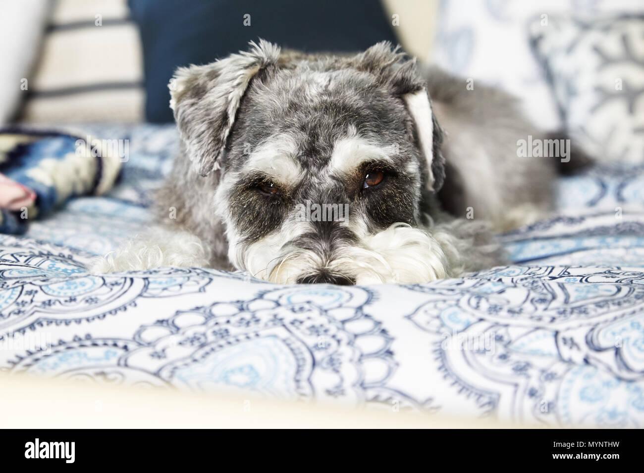 Miniatura Schnauzer in appoggio sul letto Immagini Stock
