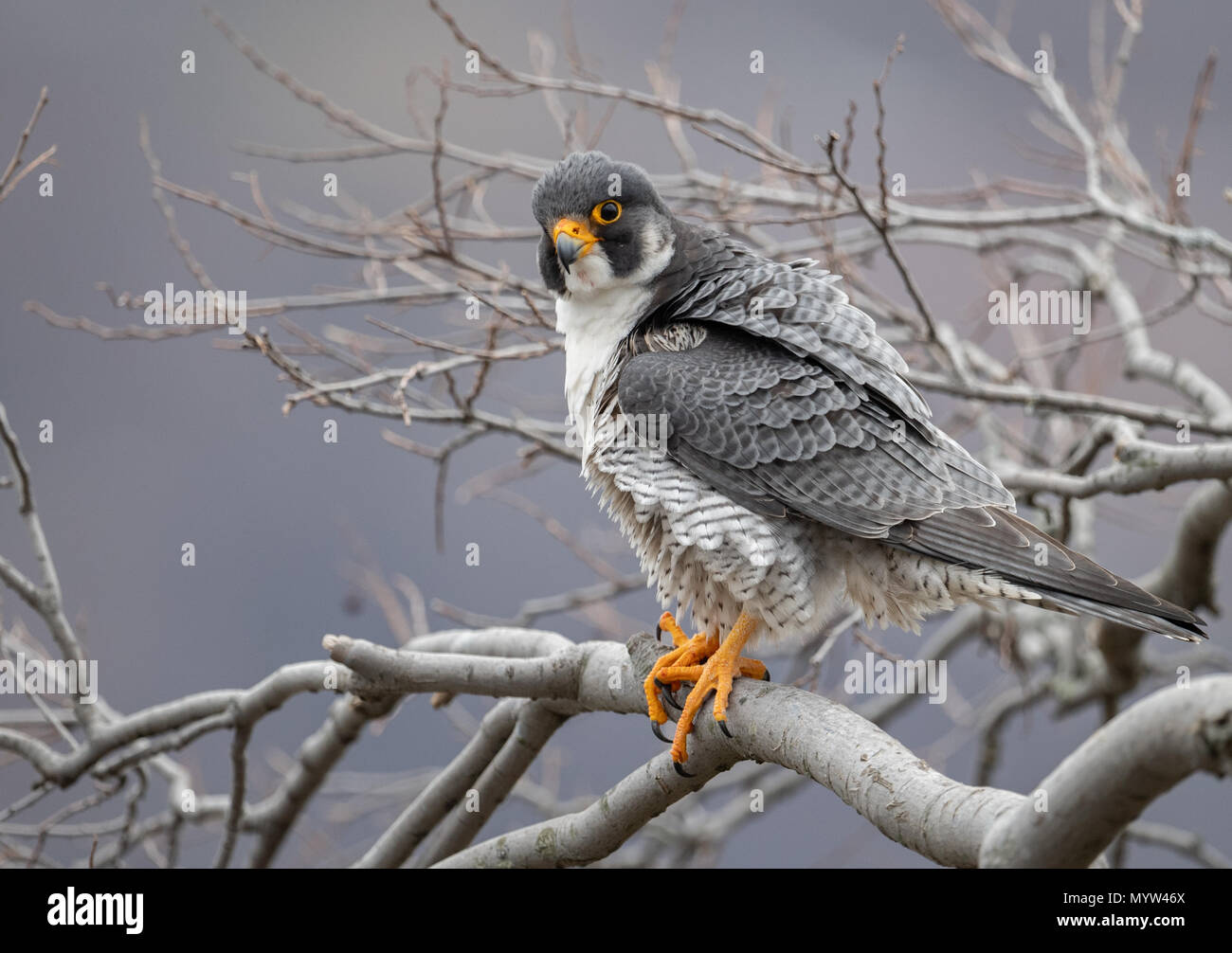 Falco pellegrino ritratto Immagini Stock