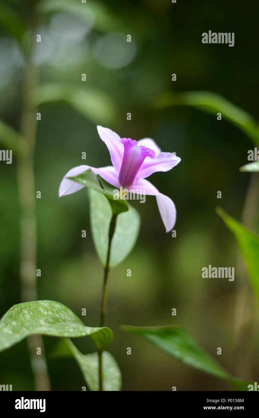 Orchidea selvaggia Immagini Stock