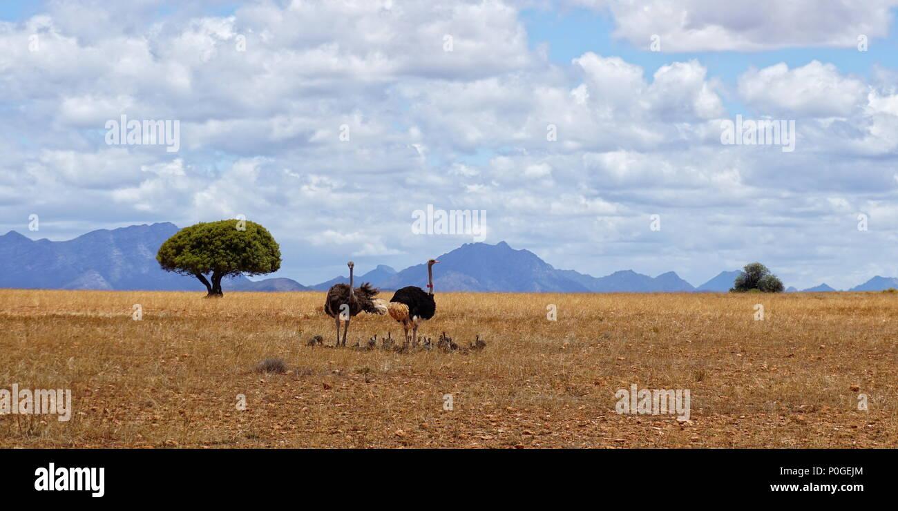 Famiglia di struzzi in Africa Immagini Stock
