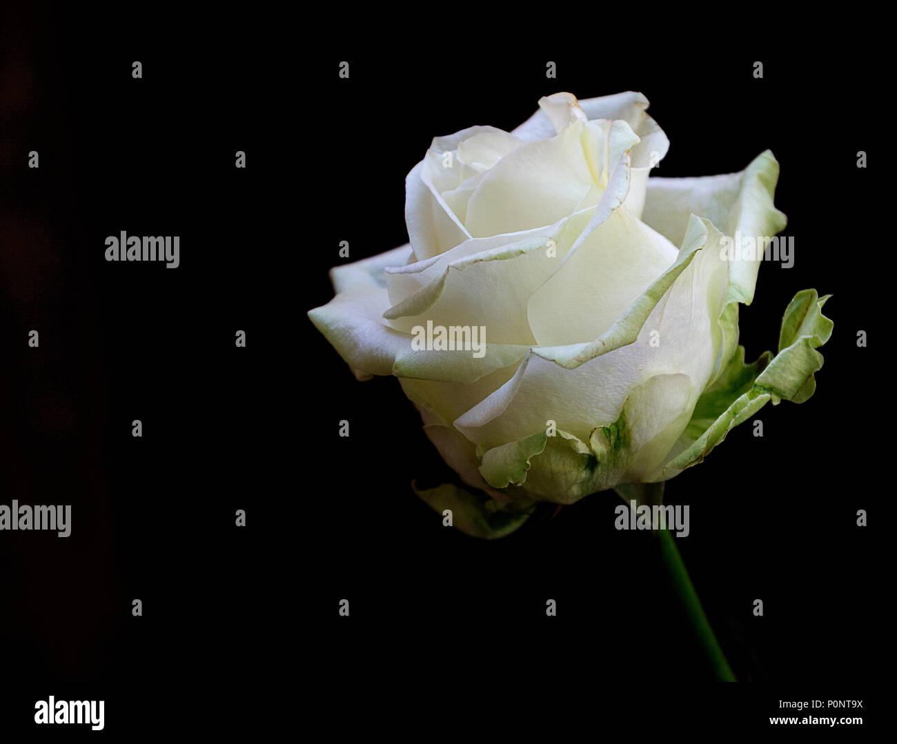 Singola Rosa Bianca Isolata Su Scuro Su Sfondo Nero Che Esprime