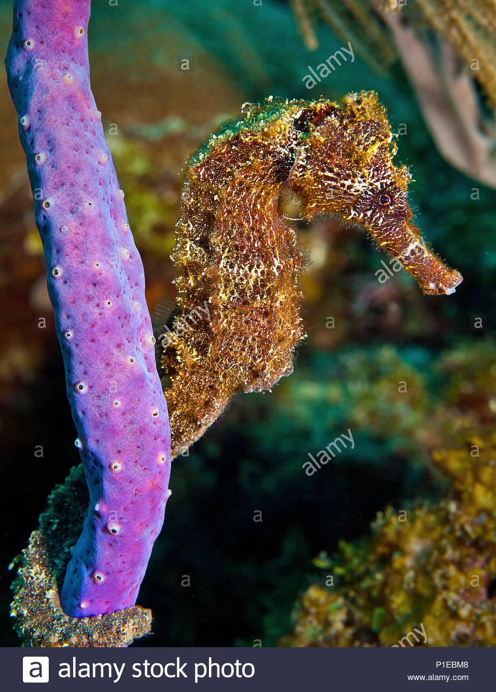 Cavalluccio marino dal muso lungo immagini cavalluccio for Immagini di cavalluccio marino