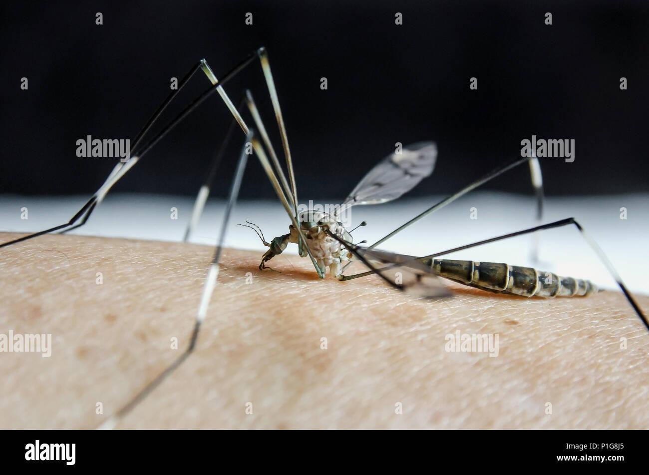 Macro di zanzara sulla pelle umana, vicino - di zanzare sono succhiare il sangue sulla pelle, Aedes aegypti e sono pericolosi insetto che causa del Immagini Stock