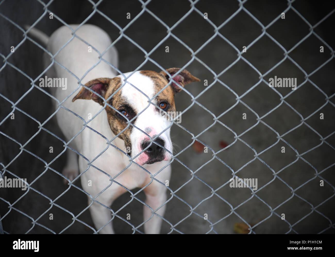 Uno dei molti cani precedentemente disponibili presso un locale rifugio per gli animali coetanei attraverso la recinzione in Warrensburg, Mo. opportunità di volontariato presso un rifugio includono la socializzazione e l'esercizio degli animali. Come ottenere i cani al di fuori della loro cucce per alcuni one-to-one di spazzolatura o la loro assunzione in una passeggiata aiuta il personale di imparare alcune delle loro peculiarità in modo che possano trovare buoni piazzamenti per loro. (U.S. Air Force foto di Senior Airman Jazmin Smith) Immagini Stock